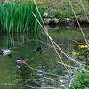 DSC_6169 ducks on the pond