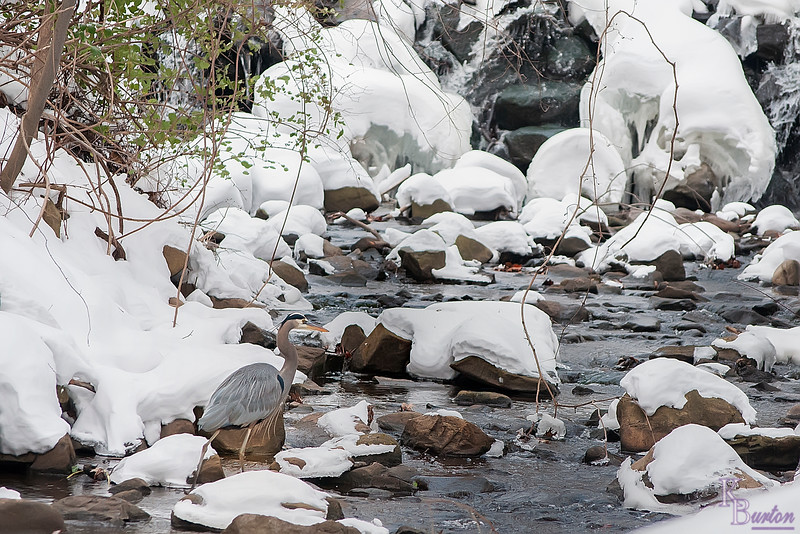 DSC_9664 Heron on a winter morning at Clove lake