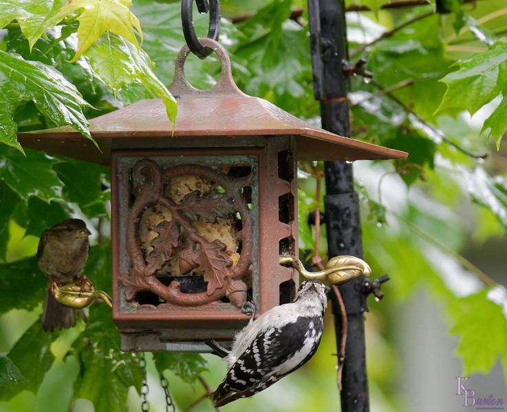 DSC_5131 downy woodpecker(DxO)
