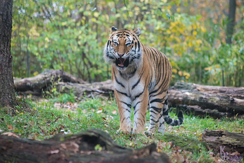 DSC_6668 asian tiger
