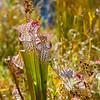 DSC_5100 pitcher plant