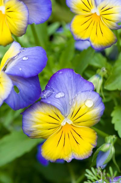 DSC_5991 purple pansies