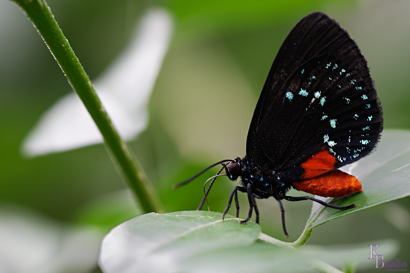 DSC_0955 Attalla butterfly_DxO