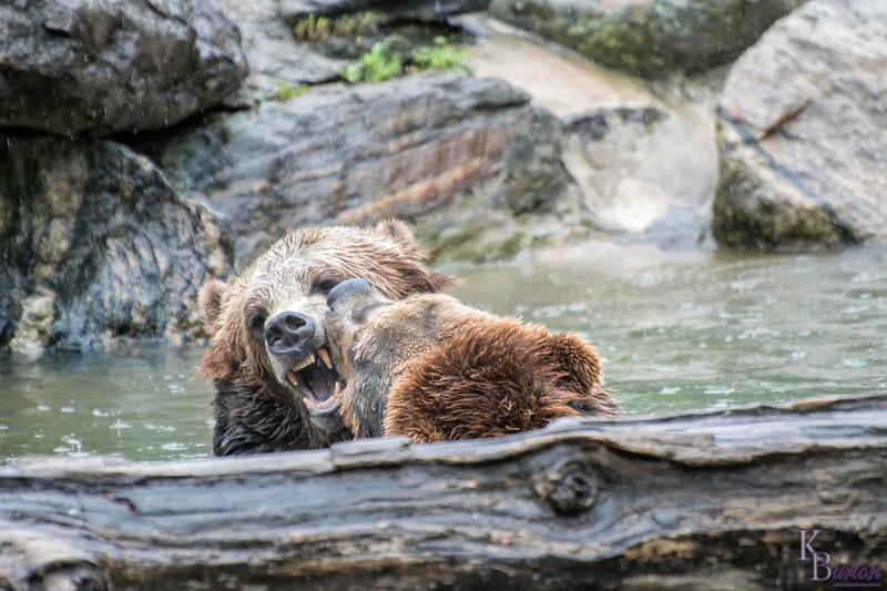 DSC_9476 brown bears