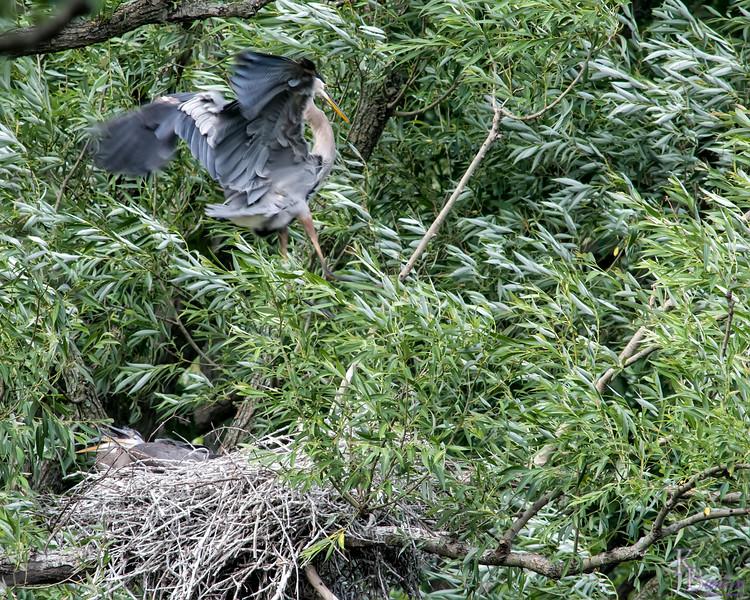 DSC_9199 Heron's nest