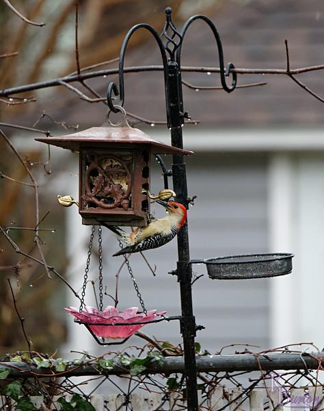 DSC_1683 backyard visitor_DxO