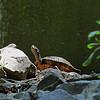 DSC_8867 painted turtle_DxO