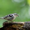 DSC_2117 black and white warbler_DxO