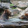 DSC_9459 brown bears