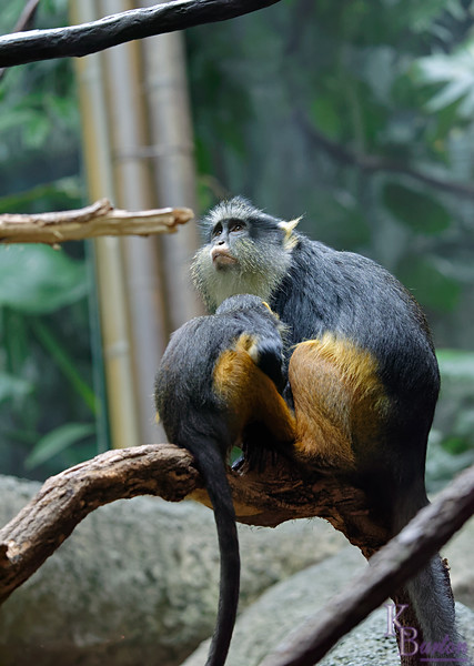 DSC_0855 Wolfe's monkeys_DxO