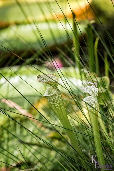 DSC_4381 pitcher plants