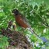 DSC_7604 robin's nest