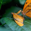 DSC_0822 Julia butterflies_DxO