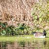 DSC_7922 canada goose