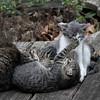 DSC_7202 kitten play