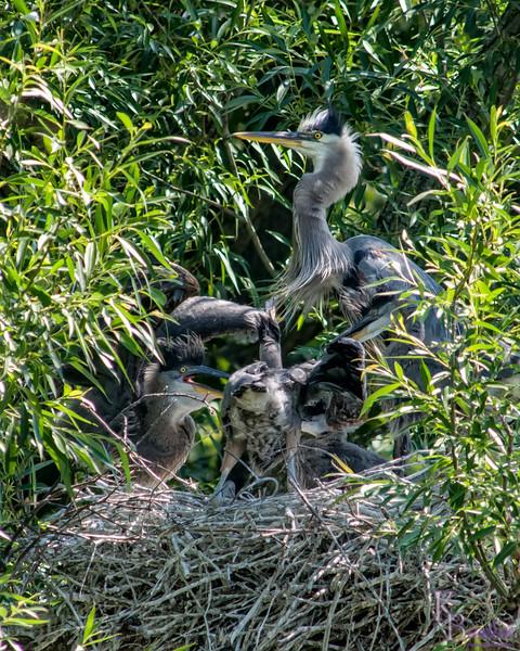 DSC_8894 heron's nest