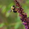 DSC_0477 bumblebee_DxO