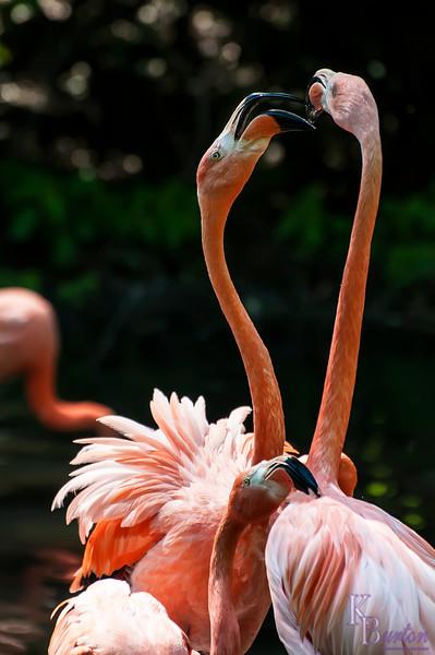 DSC_6929 flamingo's
