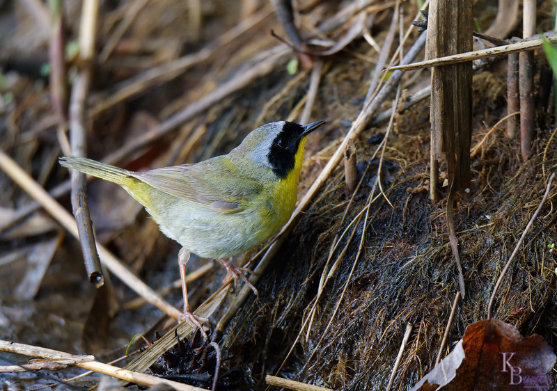 DSC_7418 common yellow throat_DxO