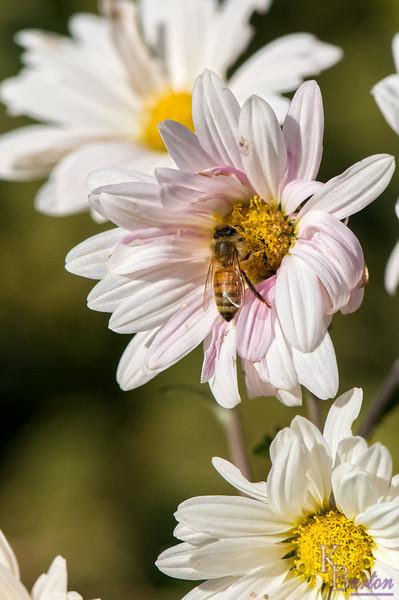 DSC_9340 Honey bee