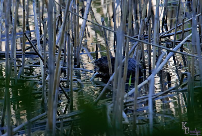 DSC_6613 swamp rat