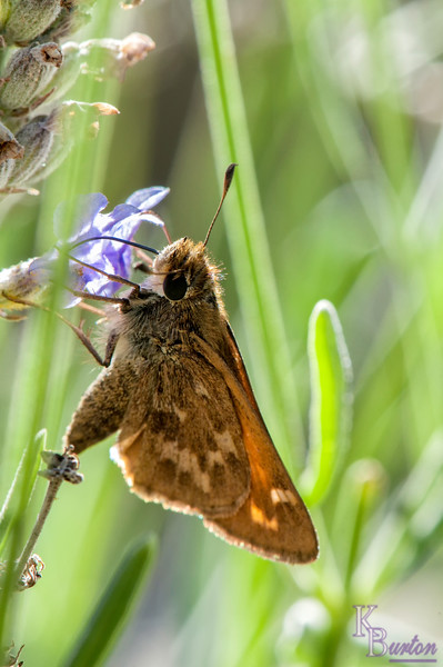 DSC_5688 grass skipper