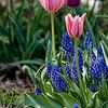 DSC_6379 tulips