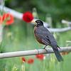 DSC_0350 robin