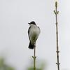 DSC_0839 eastern kingbird_DxO