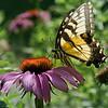 dsc_8227 swallowtail feeding