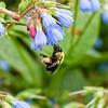 DSC_6035 bumble bee