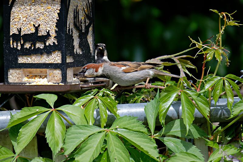 DSC_0682 sparrows_DxO