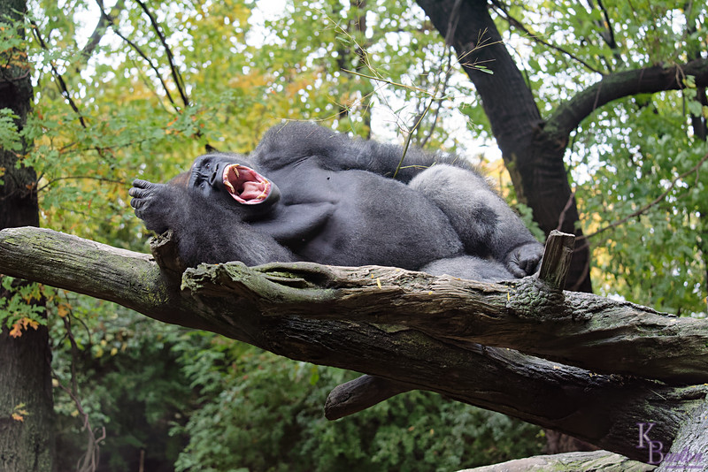 DSC_0944 gorilla_DxO