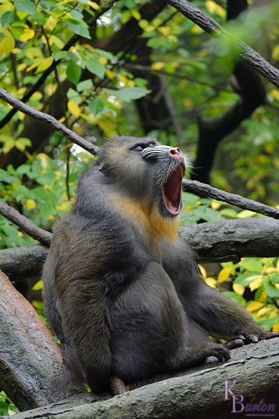 DSC_0801 big baboon_DxO