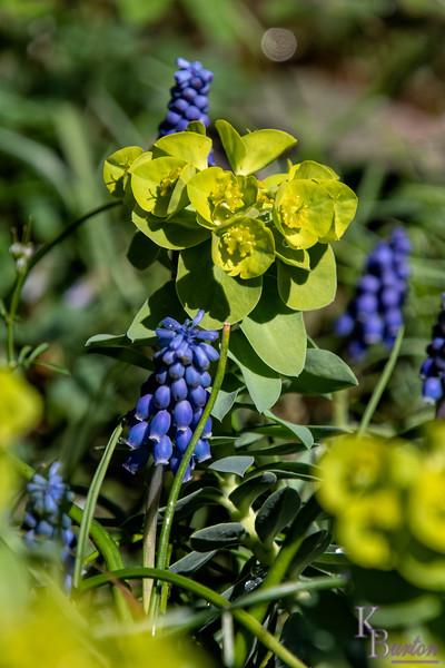 DSC_1172 Sun spurge & Grape Hyacinths