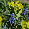 DSC_1172 Sun spurge & Grape Hyacinths
