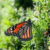 DSC_2517 the monarch of Battery Park
