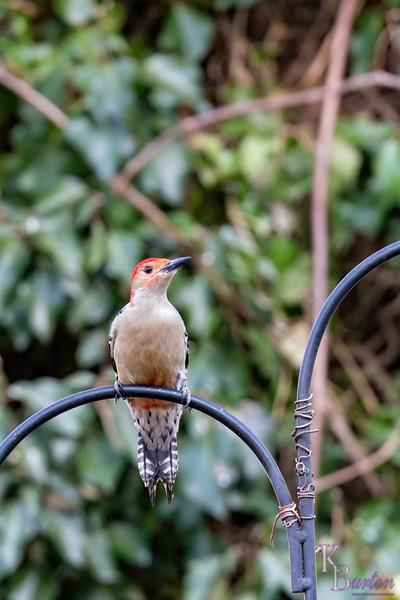 DSC_8360 red bellied woodpecker