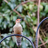 DSC_8360 red bellied woodpecker