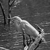 dsc_4536 white egret