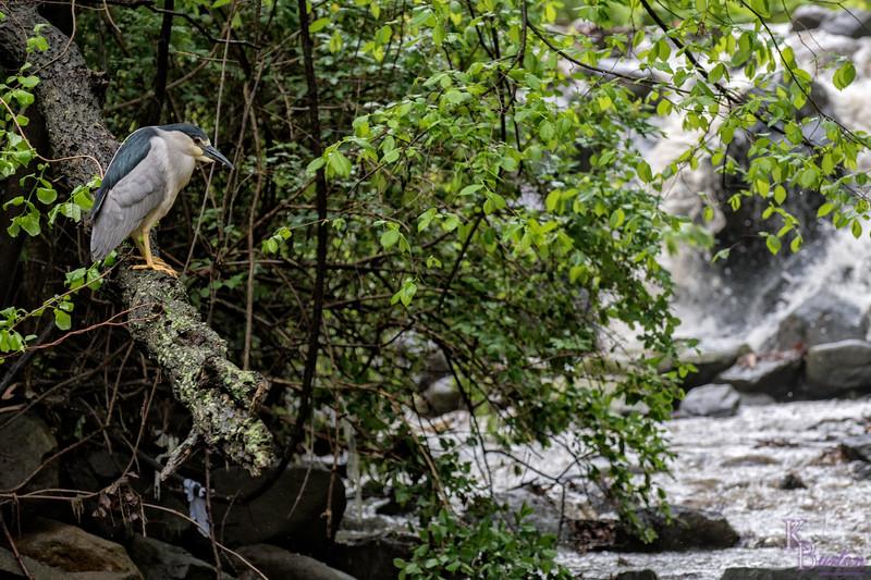 Night heron's daytime hunt