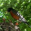 DSC_6345 robin's nest
