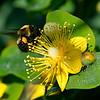 DSC_4890 foraging for nectar