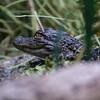 DSC_9491 baby gator