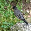 DSC_4281 robin