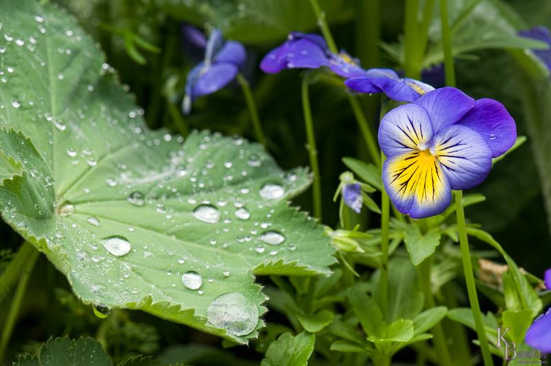 DSC_6007 purple pansies