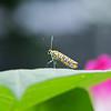 DSC_9806 webworm moth_DxO