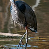 DSC_6057 great blue heron at Clove lake