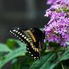 DSC_4456 black swallowtail