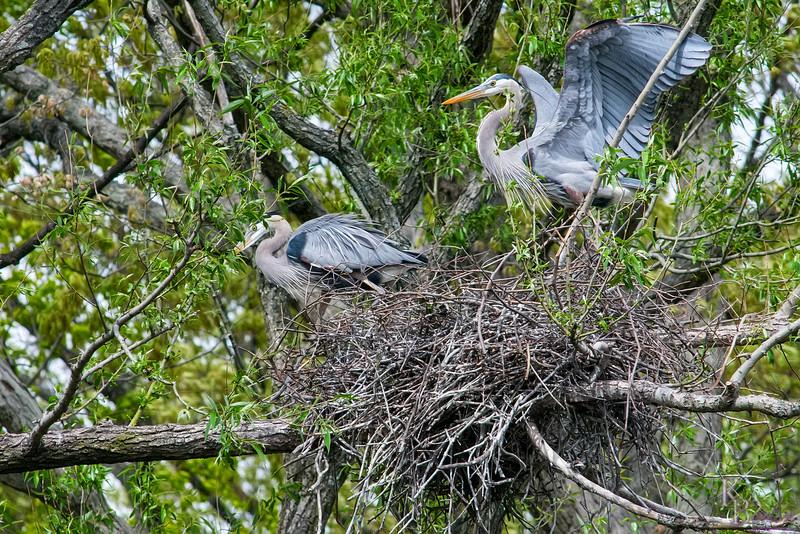 DSC_4837 nesting pair of heron's